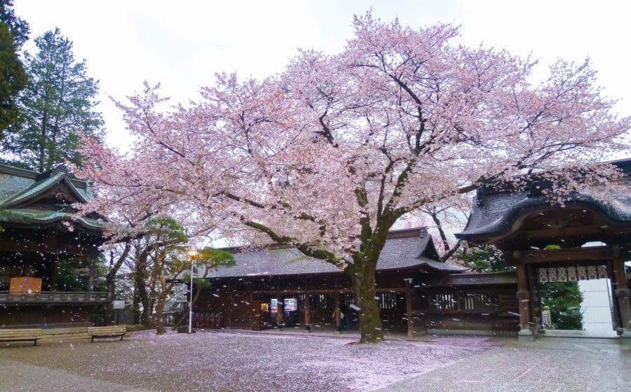 宇都宮二荒山神社の桜