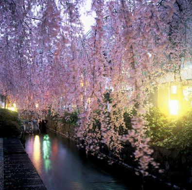 釜川沿いの桜
