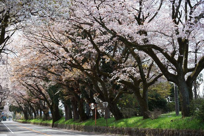 日光街道の桜並木