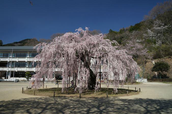 城山西小学校の孝子(こうし)桜