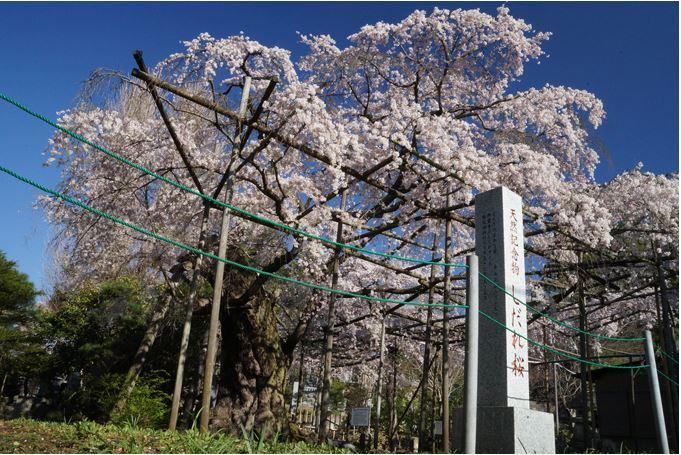 祥雲寺のしだれ桜