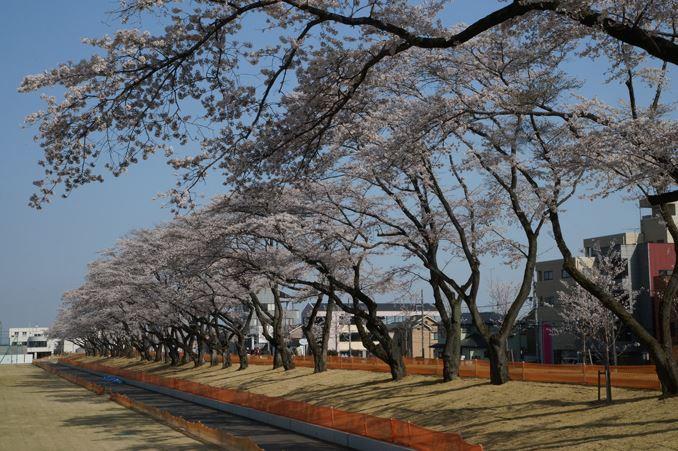 総合運動公園の桜