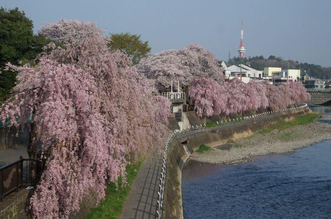 田川沿いの桜